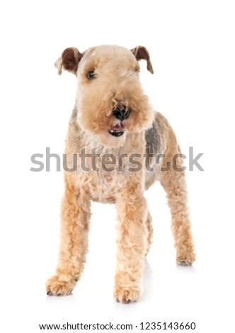 lakeland terrier in front of white background #1235143660
