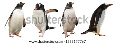 Gentoo penguins. isolated on white background