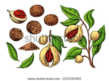 Nutmeg spice vector drawing. Ground seasoning nut sketch. Dried seeds and fresh mace fruits Herbal ingredient, cooking flavor. Condiment  illustration. Great for template label, packing design Royalty-Free Stock Photo #1235350405