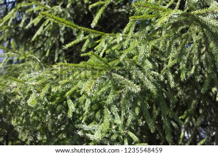 The branches of the spruce, lit by the sun. Background. #1235548459