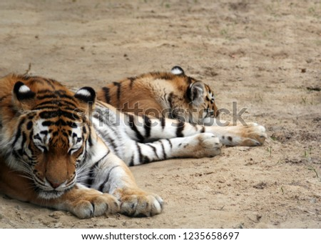 Amur tigers on vacation. Predator of the cat family, a member of the genus Panther, the largest cat on Earth #1235658697
