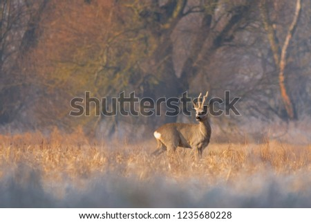 Buck european roe deer (Capreolus capreolus) on sunny winter meadow #1235680228