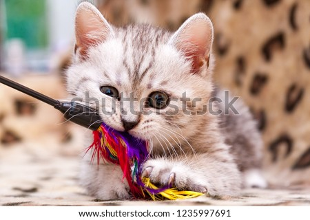 Kitten playing with feather wand - small British kitten gray white color chews cat toy looking at the camera close-up #1235997691