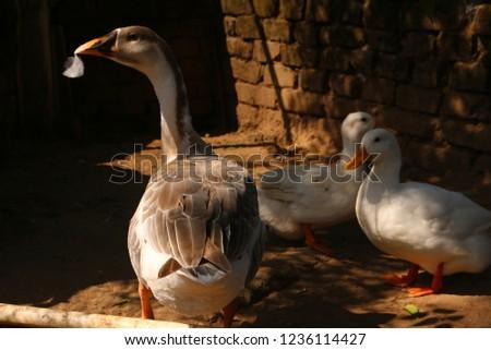 Indian Ducks closeup  #1236114427