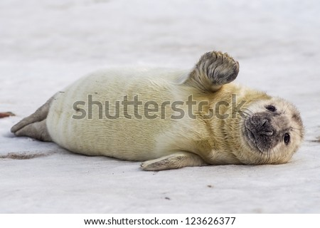 grey seal (halichoerus grypus) on the beach