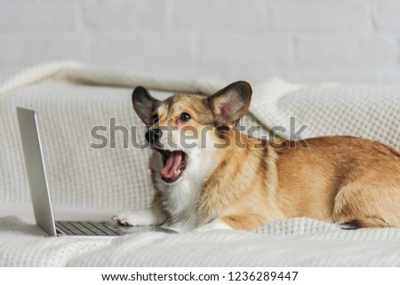 adorable corgi dog lying on couch with laptop and yawning #1236289447