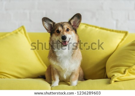 cute corgi dog sitting on yellow couch at home and looking at camera #1236289603