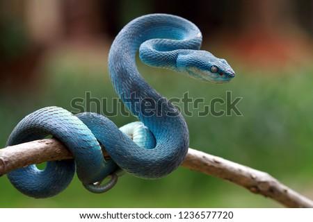 Blue viper snake on branch, viper snake, blue insularis Royalty-Free Stock Photo #1236577720