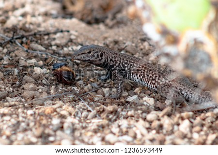 Chihuahuan Spotted Whiptail lizard eating a large brown grub or beetle larva. Wild reptile in natural habitat, sand and prickly pear cactus, with prey. Pima County, Tucson, Arizona. 2018. #1236593449