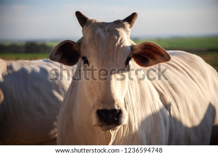 Nelore, bovine originating in India and race representing 85% of the Brazilian cattle for meat production. #1236594748