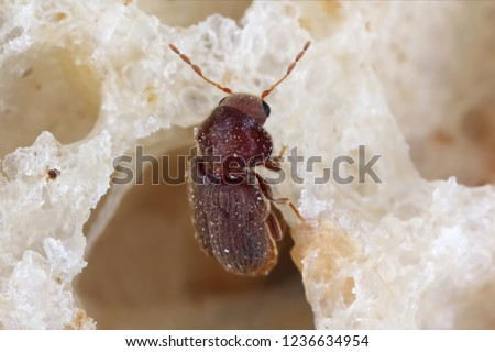 Drugstore beetle Stegobium paniceum known as bread beetle or biscuit beetle is pest in houses, stores and warehouses. Beetle on bread. #1236634954