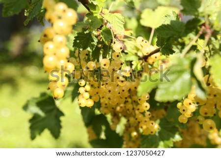 The berries of white currant growing in the garden #1237050427
