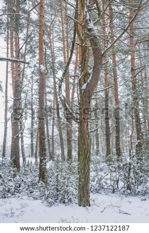 Winter in the Pine Forest. Nature in the vicinity of Pruzhany, Brest region,Belarus. #1237122187