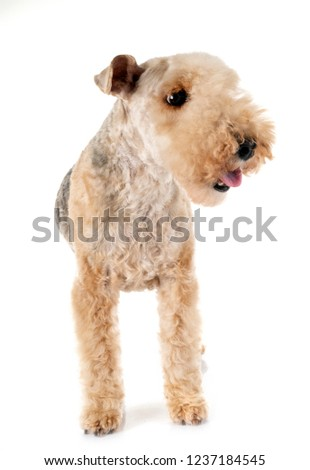 lakeland terrier in front of white background #1237184545