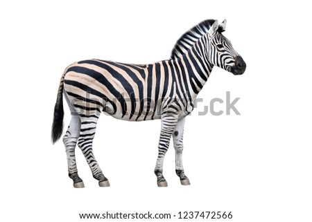 Zebra standing isolated on white Royalty-Free Stock Photo #1237472566