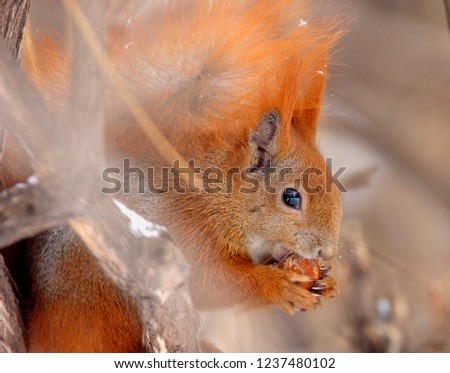 Single Red Squirrel on a tree branch in Poland forest during a winter period #1237480102
