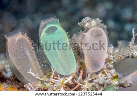 tunicate is a marine invertebrate animal, a member of the subphylum Tunicata, which is part of the Chordata,  Royalty-Free Stock Photo #1237525444