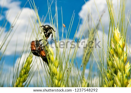 Field with wheat and mating cockchafer (May bug or doodlebug) #1237548292