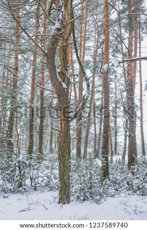 Winter in the Pine Forest. Nature in the vicinity of Pruzhany, Brest region,Belarus. #1237589740