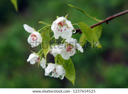 Beautiful white flowers of pear  in the spring as a natural background #1237654525