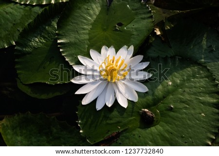 Beautiful lotus flower or water lily on the water after rain in garden with sunrise ray shine on the flower. #1237732840