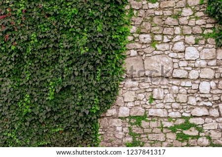 Old stone wall with ivy as background. Banner and copy space for your text or disign #1237841317