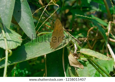 Lepcha Bushbrown Butterfly #1238015407