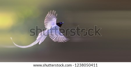 Asian Paradise Flycatcher #1238050411