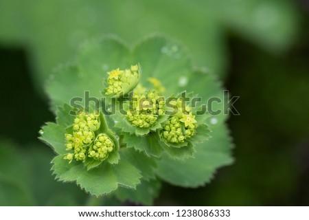 Closeup of Mantle flowers (Alchemilla mollis) in water drops after rain. Lady's-mantle - perennial garden ornamental plant. Selective focus. #1238086333