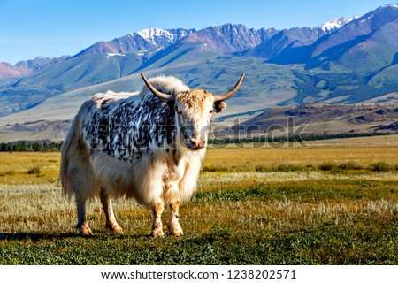 White & black yak in alpine mountains. Himalayan big yak in beautiful landscape. Hairy cattle cow wild animal in nature. Sunny winter day, yak face - wildlife concept. Farm animal in Nepal & Tibet #1238202571