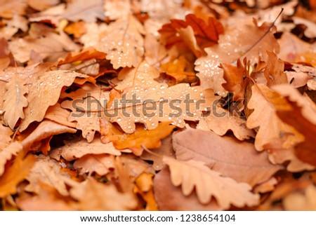 Oak autumn leafs covered in dew drops #1238654104
