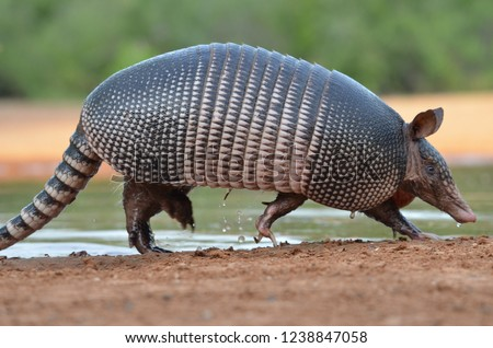 Armadillo in South Texas
