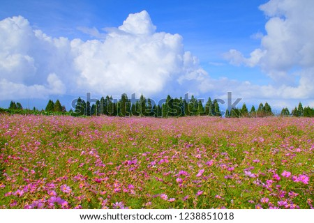 Autumn Scenery of Lishan in the Taichong. Cosmos Blossoms, Pinaster and House in Sunny day with misty forest is Taiwan aesthetic sense. #1238851018