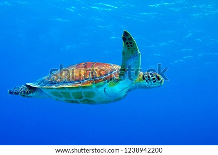 Sea turtle (chelonia mydas) swimming in the blue ocean. Snorkeling with sea turtle in the shallow sea. Underwater photography with tortoise in the blue sea. Shallow seascape with underwater turtle. #1238942200