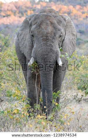 Frontal picture of a giant elephant