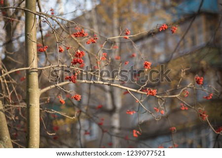 red mountain ash in the city #1239077521