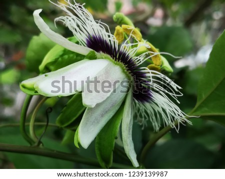 Passiflora, Passion Flower, Passionfruit Flower #1239139987