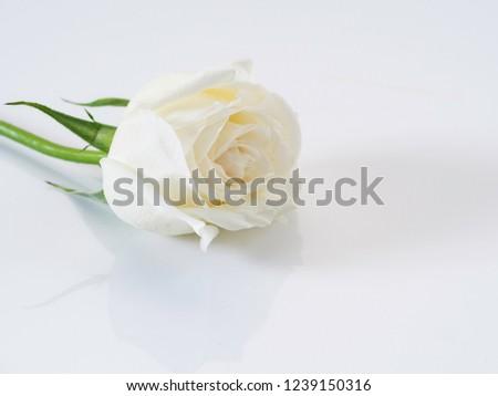 Single Flower white rose on white background. love symbol #1239150316