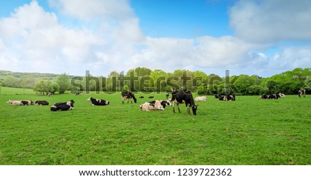 dairy cows grazing #1239722362