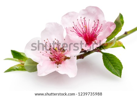 Blooming almond flowers on a thin branch isolated on white background. Macro, studio shot. #1239735988