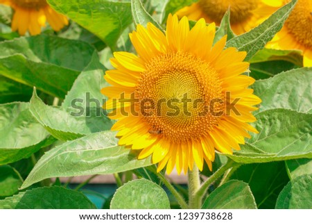Beautiful landscape picture, Beautiful sunflower field sunflower summer time