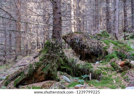 evergreen forest with spruce and pine tree under branches. low light details with trunks and empty ground #1239799225