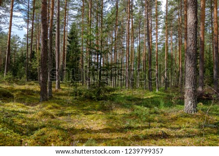 evergreen forest with spruce and pine tree under branches. low light details with trunks and empty ground #1239799357
