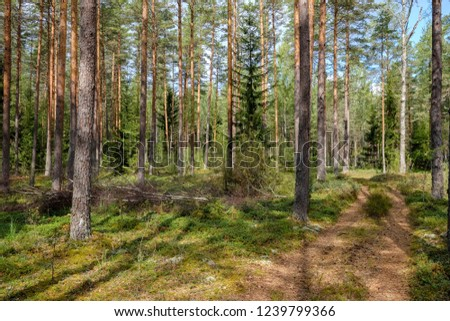 evergreen forest with spruce and pine tree under branches. low light details with trunks and empty ground #1239799366