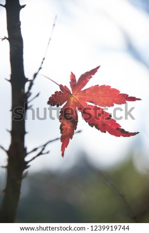 Maple leaf red in thailand #1239919744