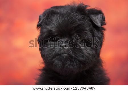 Affenpinscher puppy portrait #1239943489