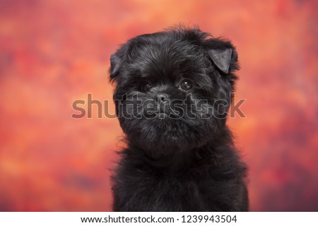 Affenpinscher puppy portrait #1239943504