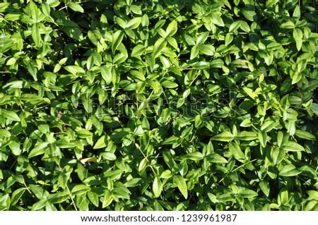 Foliage of Vinca minor variety 'sabinca' #1239961987