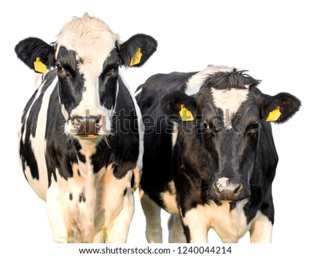 Cows on a white background #1240044214