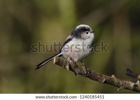 A long-tailed tit perched on a branch at Summer Leys Nature Reserve in Northamptonshire, England, UK. #1240185451